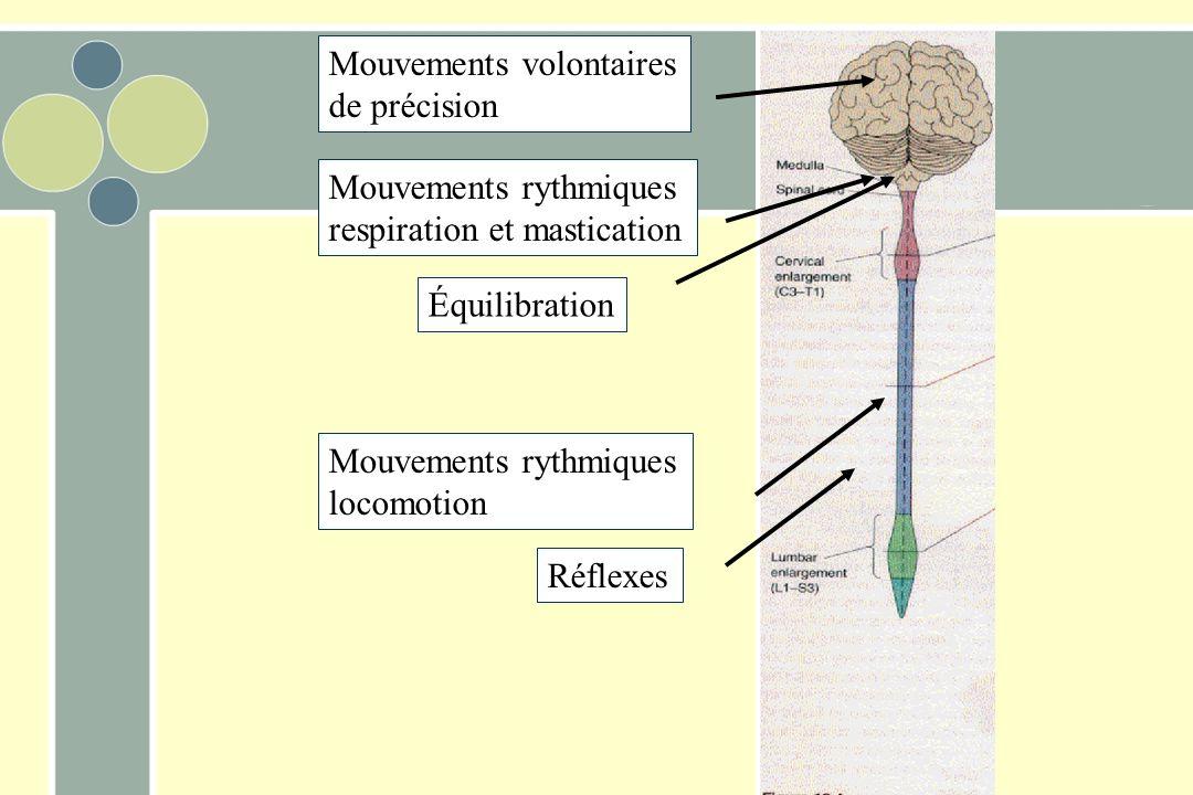 Mouvements volontaires de précision Mouvements rythmiques respiration et mastication Réflexes Mouvements rythmiques locomotion Équilibration