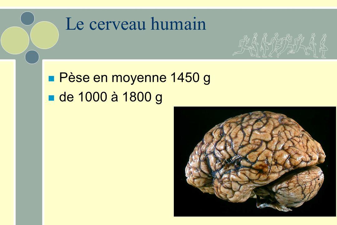 n Pèse en moyenne 1450 g n de 1000 à 1800 g Le cerveau humain
