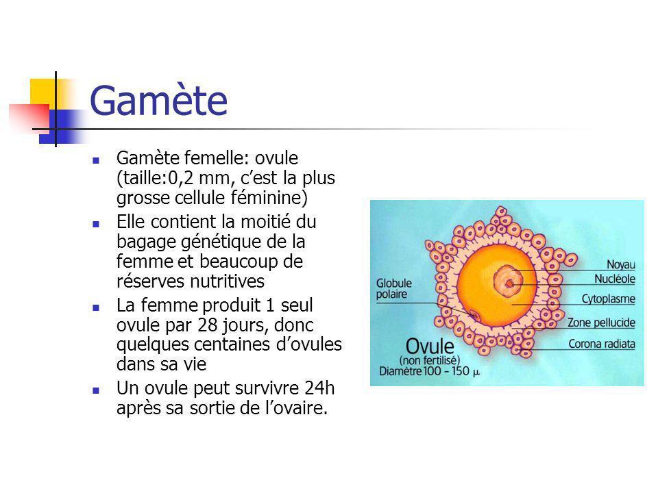 Gamète Gamète femelle: ovule (taille:0,2 mm, cest la plus grosse cellule féminine) Elle contient la moitié du bagage génétique de la femme et beaucoup
