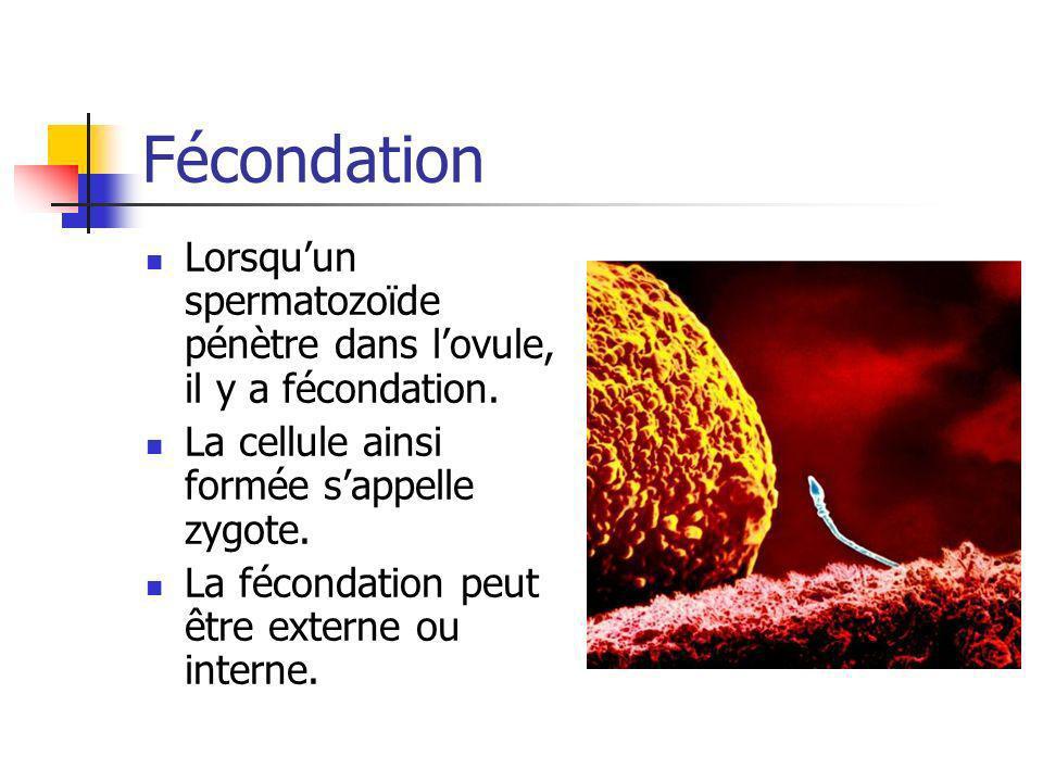 Fécondation Lorsquun spermatozoïde pénètre dans lovule, il y a fécondation. La cellule ainsi formée sappelle zygote. La fécondation peut être externe