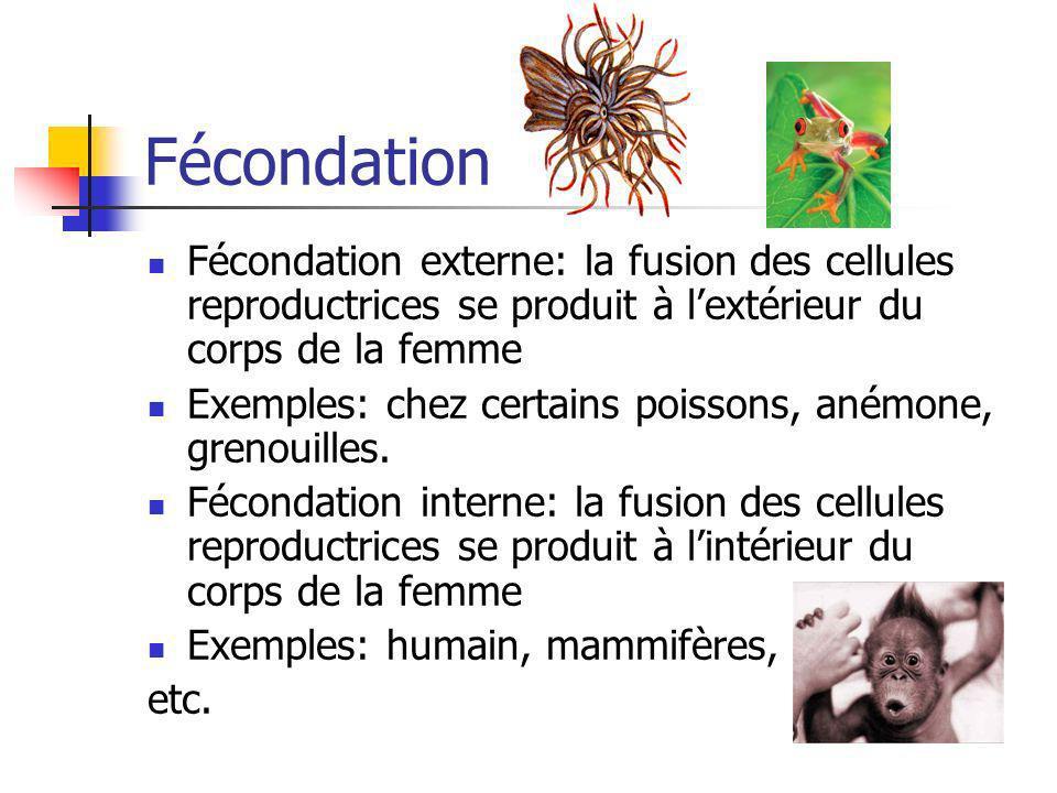 Fécondation Fécondation externe: la fusion des cellules reproductrices se produit à lextérieur du corps de la femme Exemples: chez certains poissons,
