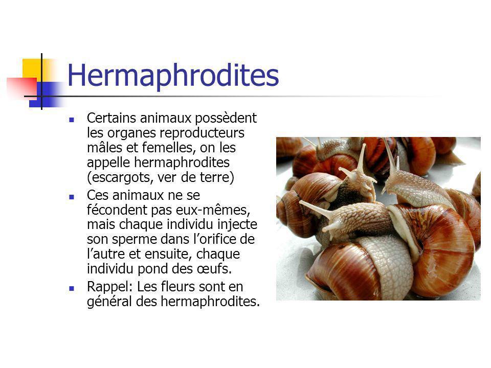 Hermaphrodites Certains animaux possèdent les organes reproducteurs mâles et femelles, on les appelle hermaphrodites (escargots, ver de terre) Ces ani