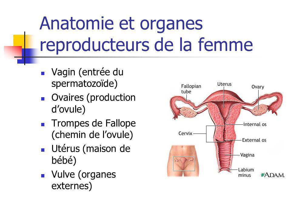 Anatomie et organes reproducteurs de la femme Vagin (entrée du spermatozoïde) Ovaires (production dovule) Trompes de Fallope (chemin de lovule) Utérus