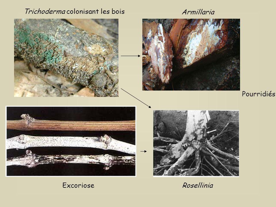 MECANISMES DACTION DES SPORES Développement préventif Protection contre les agresseurs Colonisation de la rhizosphère Colonisation des vaisseaux ©Biop