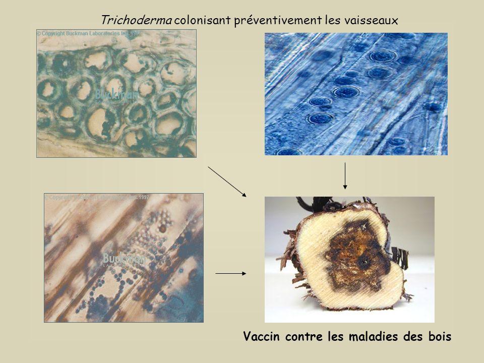 Pourridiés ExcorioseRosellinia Armillaria Trichoderma colonisant les bois