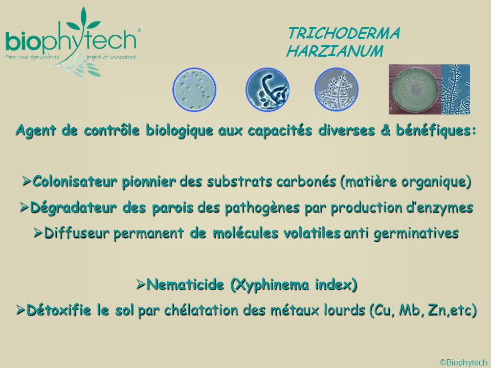 Agent de contrôle biologique aux capacités diverses & bénéfiques: Colonisateur pionnier des substrats carbonés (matière organique) Colonisateur pionnier des substrats carbonés (matière organique) Dégradateur des parois des pathogènes par production denzymes Dégradateur des parois des pathogènes par production denzymes Diffuseur permanent de molécules volatiles anti germinatives Diffuseur permanent de molécules volatiles anti germinatives Nematicide (Xyphinema index) Nematicide (Xyphinema index) Détoxifie le sol par chélatation des métaux lourds (Cu, Mb, Zn,etc) Détoxifie le sol par chélatation des métaux lourds (Cu, Mb, Zn,etc) ©Biophytech TRICHODERMA HARZIANUM