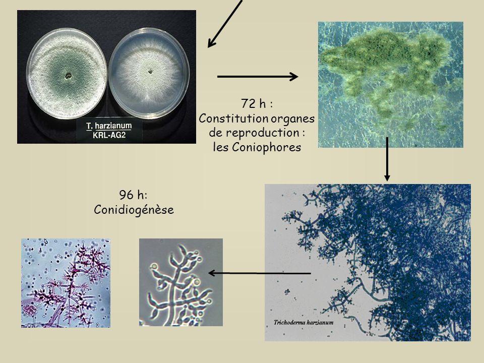 24 h après inoculation sur milieu de culture : Germination 48 h : Croissance mycélienne Cycle de développement des Trichoderma sp