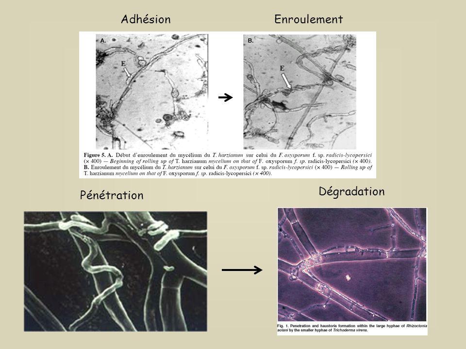 Mode daction des Trichoderma sp Champignon pathogène
