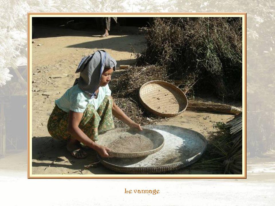Le travail du mil Il est battu pour récupérer les grains puis secoué dans de grands vans pour le dégager des déchets et de la poussière.
