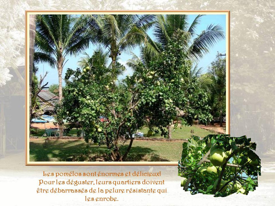 Autres plantations : cocotiers et bananiers.