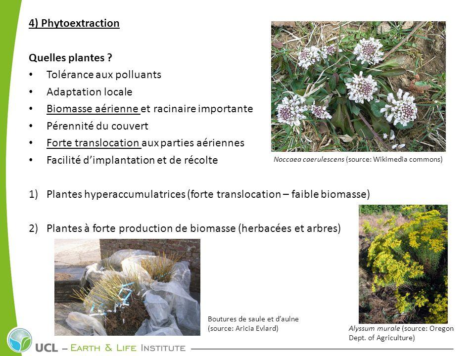 4) Phytoextraction Quelles plantes ? Tolérance aux polluants Adaptation locale Biomasse aérienne et racinaire importante Pérennité du couvert Forte tr