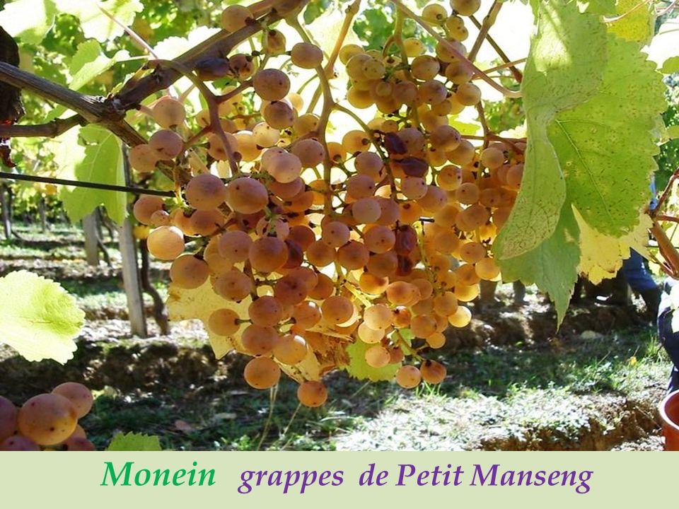 Monein vignoble du Jurançon,. vignes conduites en Hautains