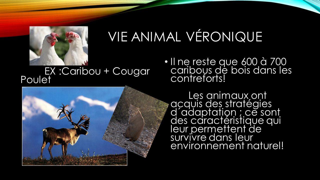 VIE ANIMAL VÉRONIQUE EX :Caribou + Cougar Poulet Il ne reste que 600 à 700 caribous de bois dans les contreforts! Les animaux ont acquis des stratégie