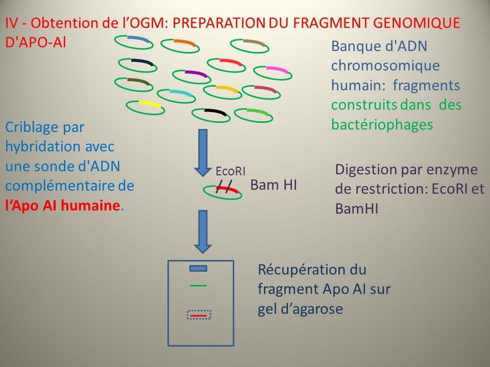 Banque d ADN chromosomique humain: fragments construits dans des bactériophages Criblage par hybridation avec une sonde d ADN complémentaire de lApo AI humaine.