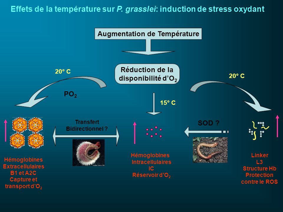 Réduction de la disponibilité dO 2 Hémoglobines Extracellulaires B1 et A2C Capture et transport dO 2 PO 2 Hémoglobines Intracellulaires IC Réservoir d