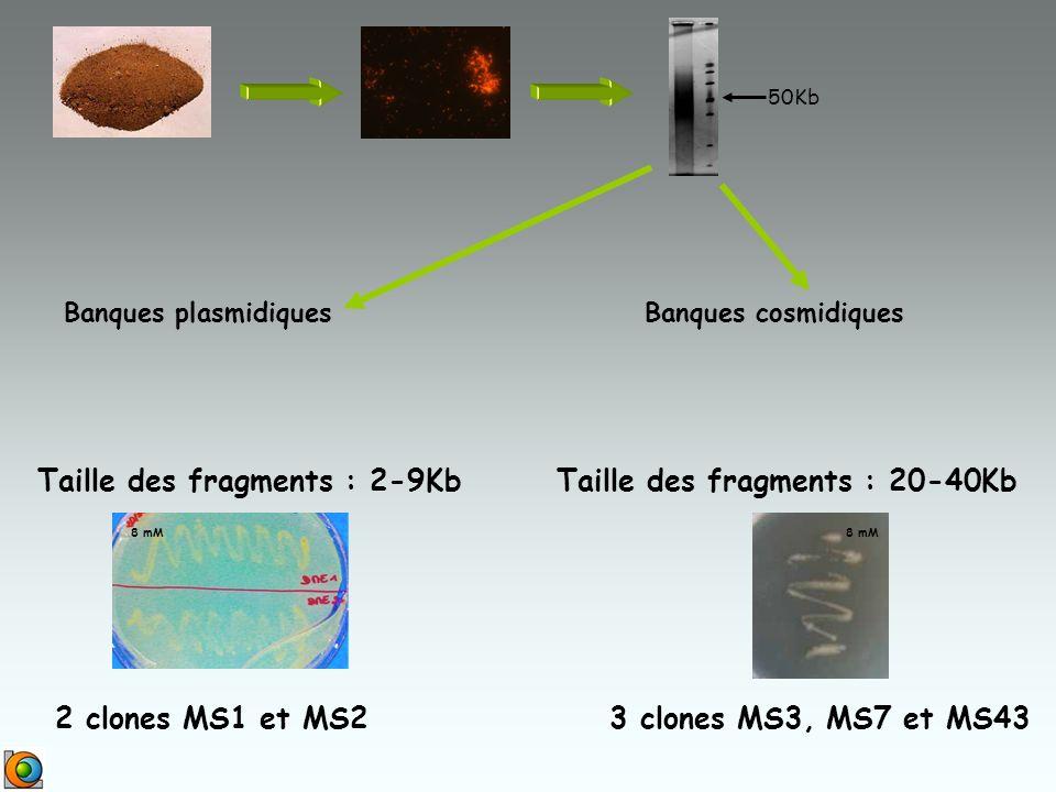 Banques plasmidiques Taille des fragments : 2-9KbTaille des fragments : 20-40Kb Banques cosmidiques 50Kb 2 clones MS1 et MS2 8 mM 3 clones MS3, MS7 et MS43 8 mM