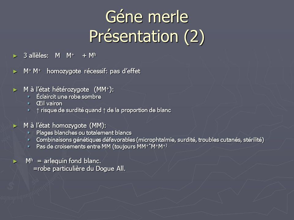 Géne merle Présentation (2) 3 allèles: M M + + M h 3 allèles: M M + + M h M + M + homozygote récessif: pas deffet M + M + homozygote récessif: pas def