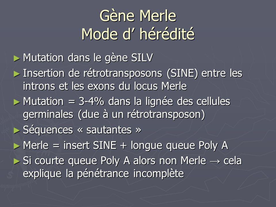 Gène Merle Mode d hérédité Mutation dans le gène SILV Mutation dans le gène SILV Insertion de rétrotransposons (SINE) entre les introns et les exons d