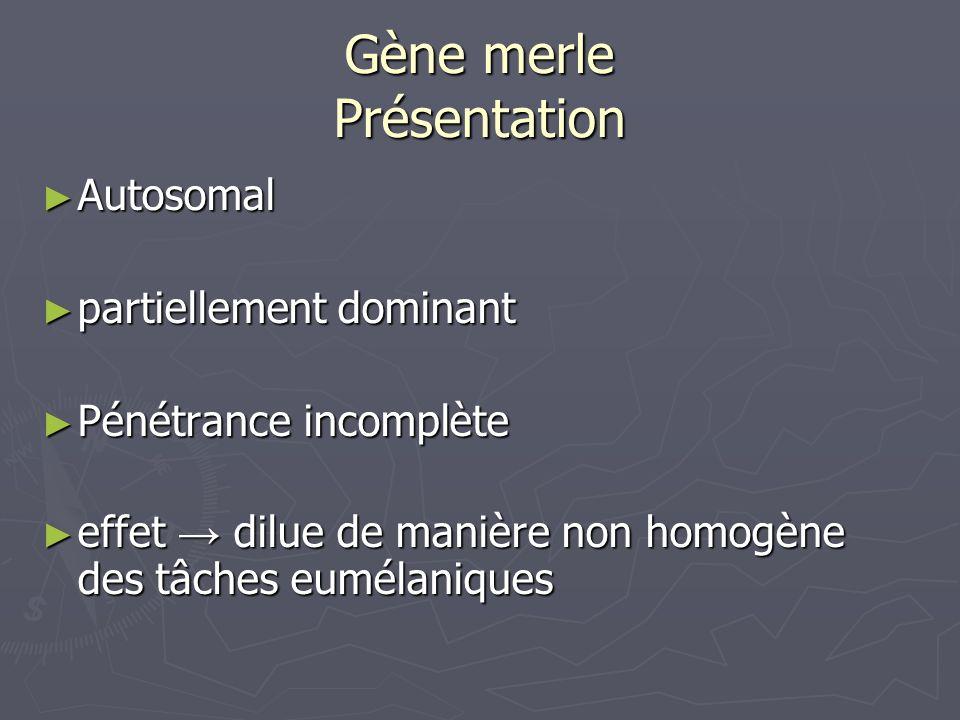 Gène merle Présentation Autosomal Autosomal partiellement dominant partiellement dominant Pénétrance incomplète Pénétrance incomplète effet dilue de m