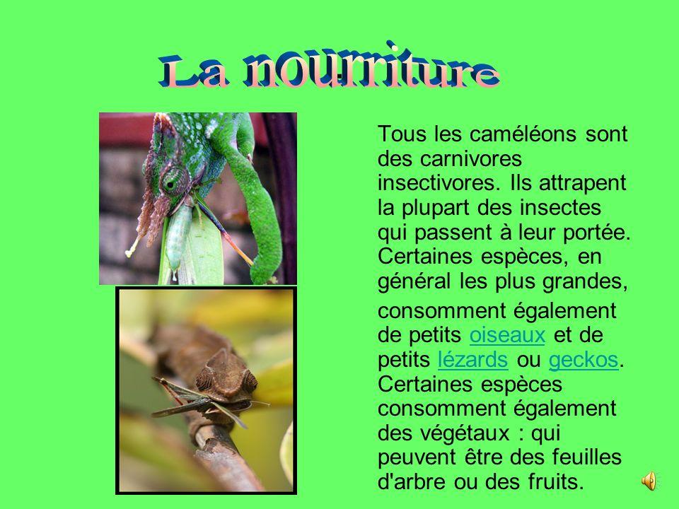 Tous les caméléons sont des carnivores insectivores.