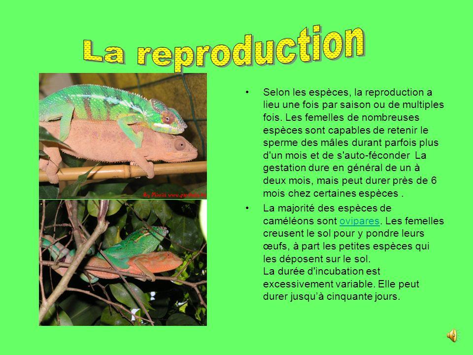 . Tous les caméléons sont des carnivores insectivores. Ils attrapent la plupart des insectes qui passent à leur portée. Certaines espèces, en général