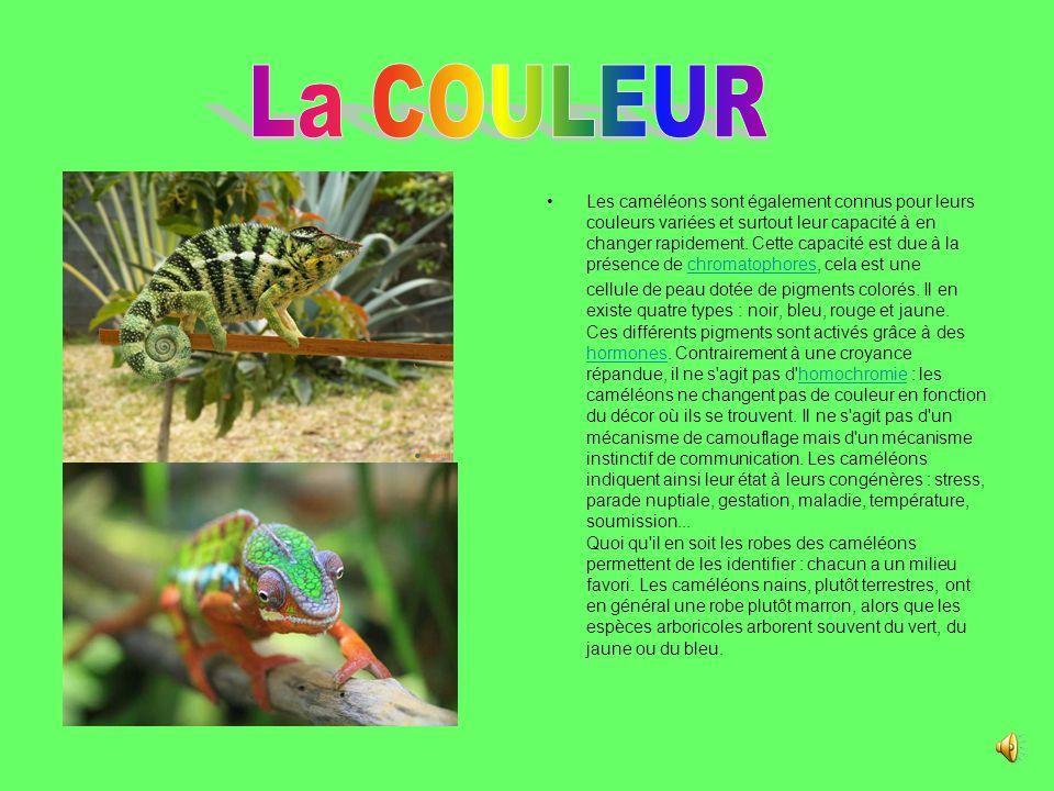 Les caméléons sont également connus pour leurs couleurs variées et surtout leur capacité à en changer rapidement.