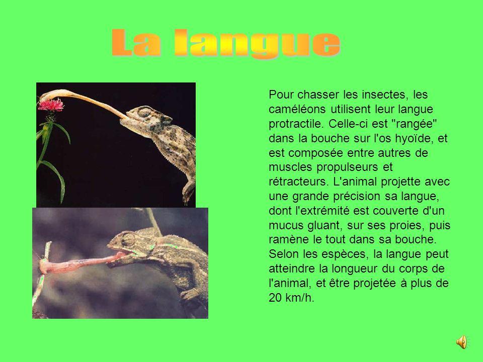 Pour chasser les insectes, les caméléons utilisent leur langue protractile.
