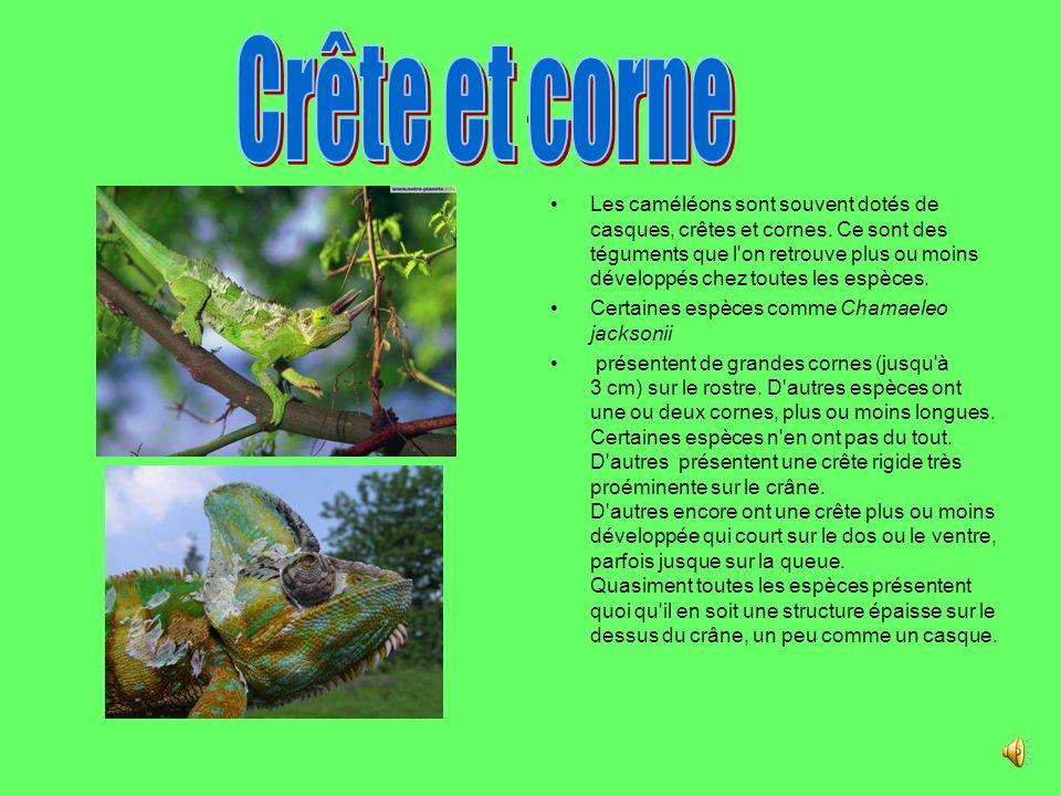 Les caméléons sont souvent dotés de casques, crêtes et cornes.