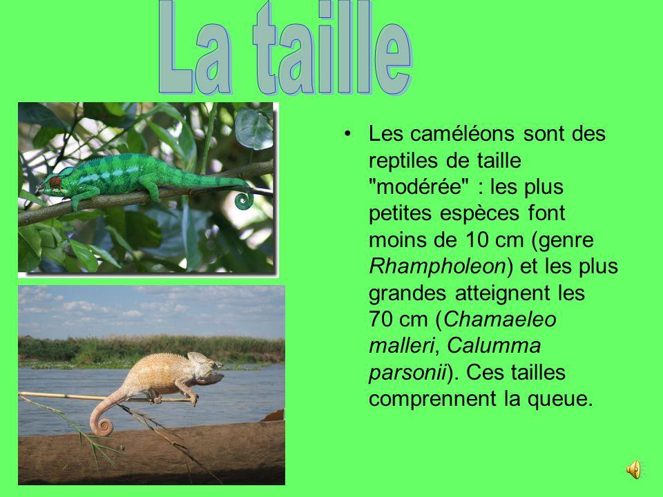Les caméléons sont des reptiles de taille modérée : les plus petites espèces font moins de 10 cm (genre Rhampholeon) et les plus grandes atteignent les 70 cm (Chamaeleo malleri, Calumma parsonii).