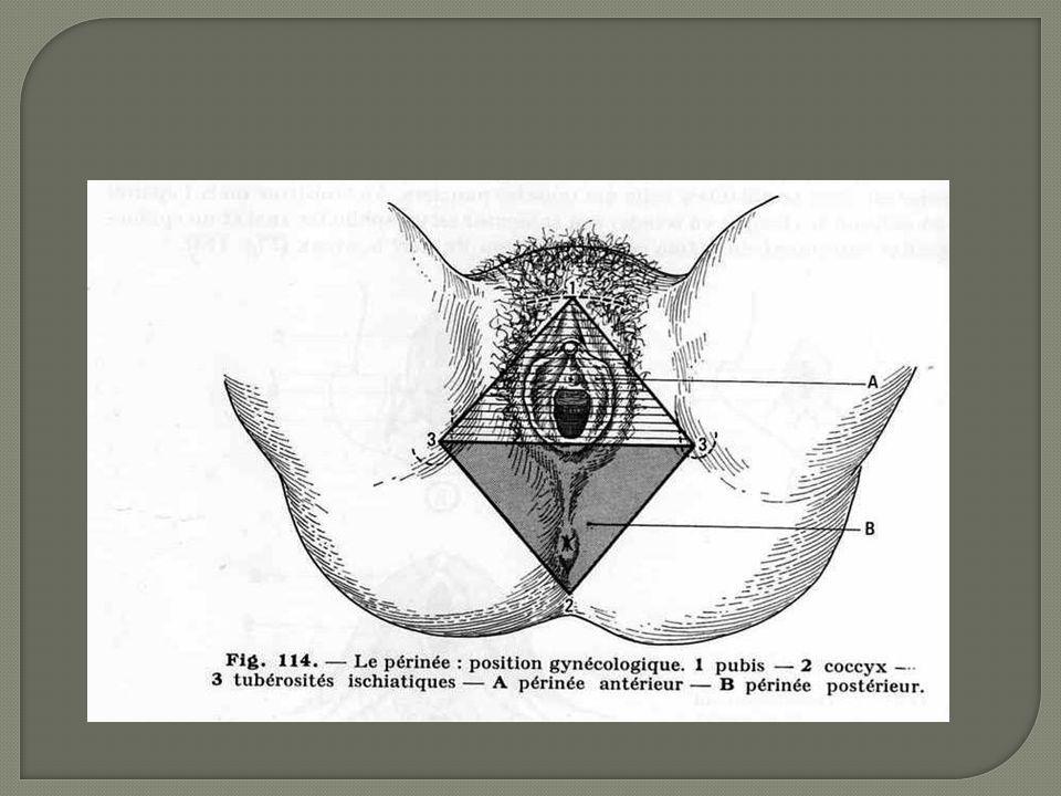 MUSCLE ÉLÉVATEUR DE L ANUS Pair et symétrique qui nait sur la symphyse pubienne et se termine sur l épine sciatique et le coccyx.