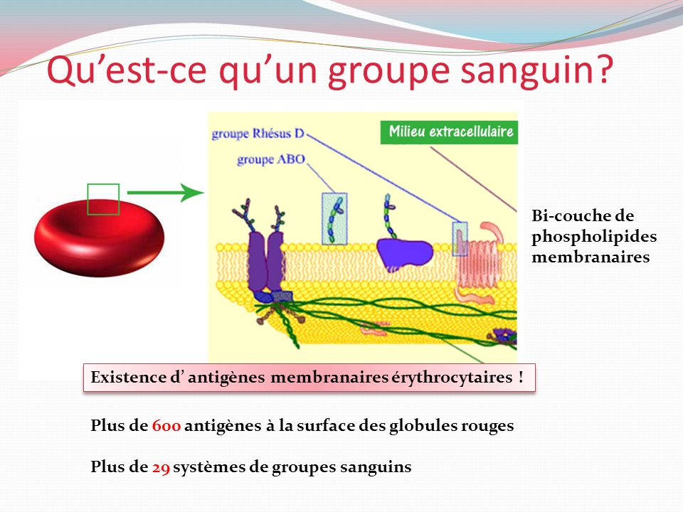Quest-ce quun groupe sanguin? Bi-couche de phospholipides membranaires Existence d antigènes membranaires érythrocytaires ! Plus de 600 antigènes à la