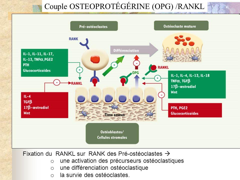 Fixation du RANKL sur RANK des Pré-ostéoclastes o une activation des précurseurs ostéoclastiques o une différenciation ostéoclastique o la survie des