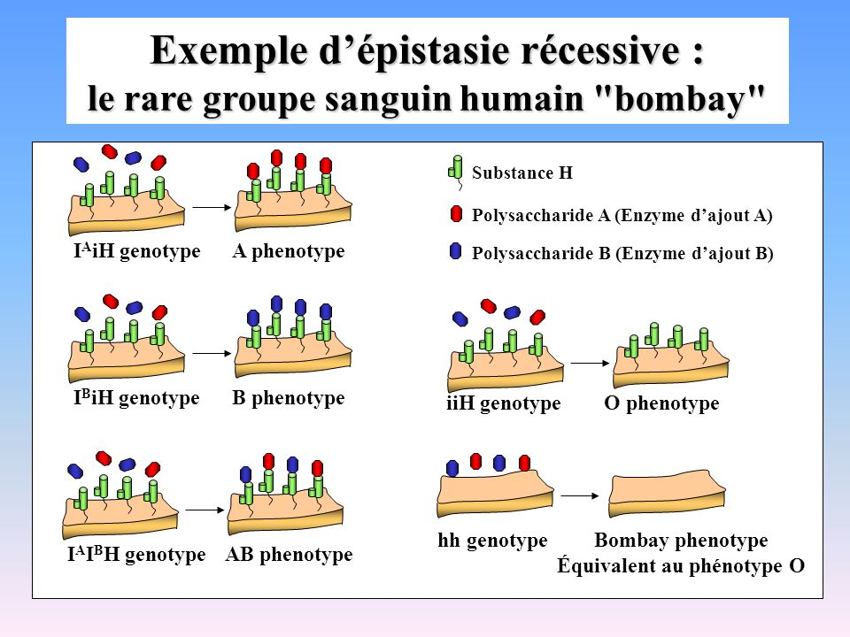 O phenotypeiiH genotype AB phenotypeI A I B H genotype Substance H Polysaccharide A (Enzyme dajout A) Polysaccharide B (Enzyme dajout B) hh genotypeBo