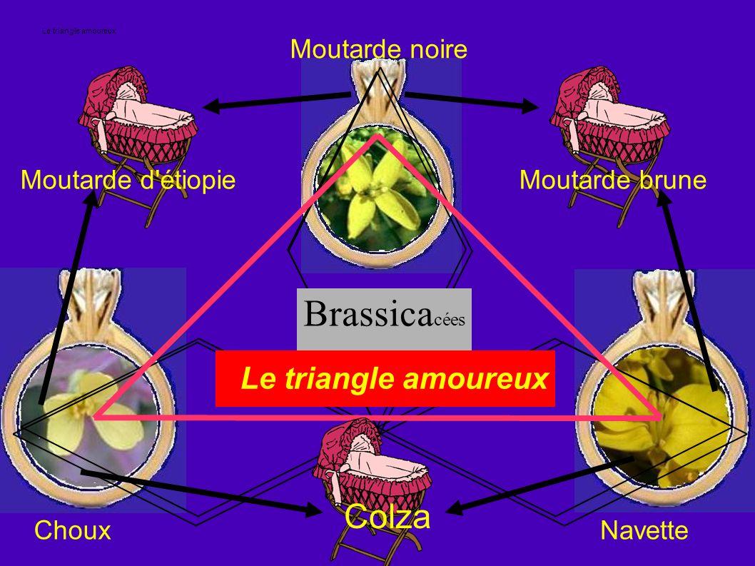 Le triangle amoureux Brassica cées Le triangle amoureux Moutarde d'étiopie Moutarde noire Moutarde brune NavetteChoux Colza