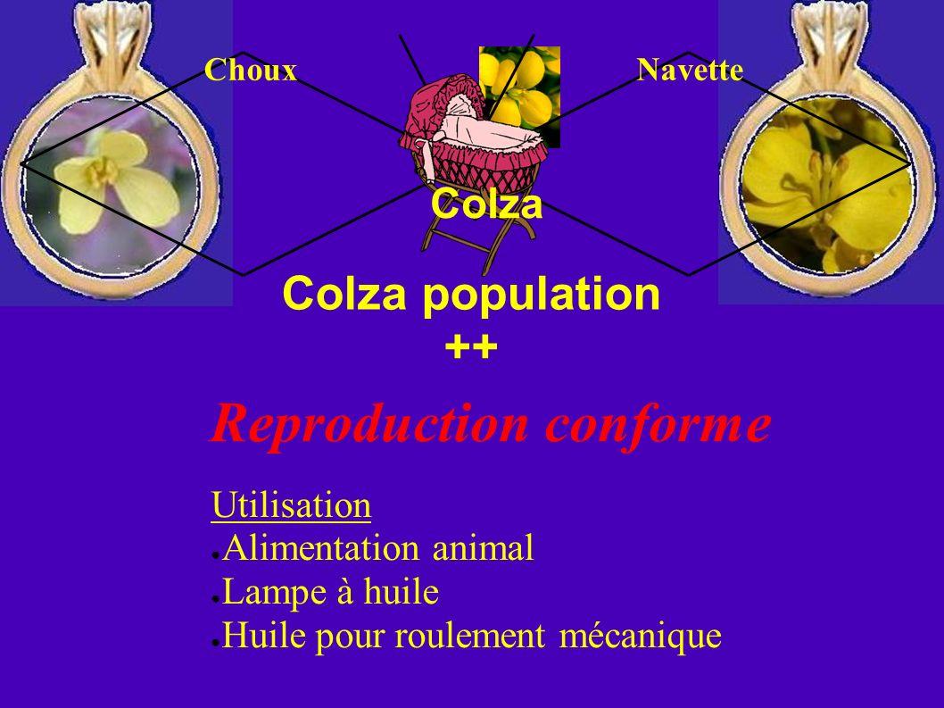 Colza population ++ Colza Reproduction conforme Utilisation Alimentation animal Lampe à huile Huile pour roulement mécanique ChouxNavette