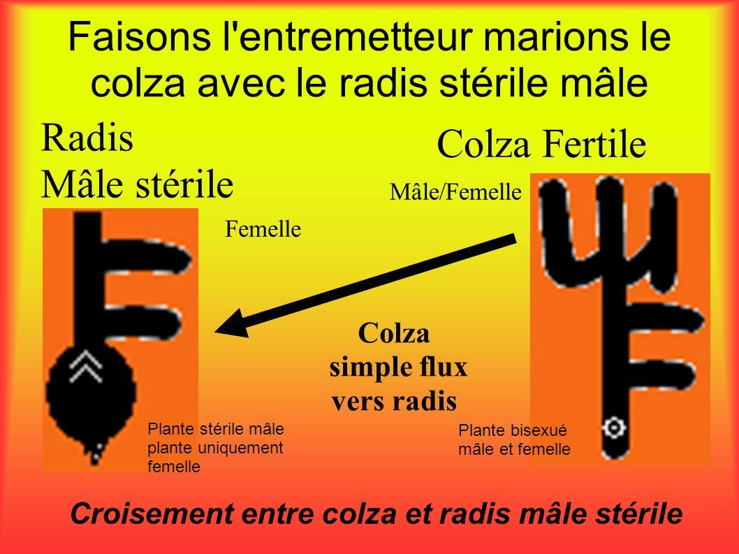 Faisons l'entremetteur marions le colza avec le radis stérile mâle Croisement entre colza et radis mâle stérile Colza simple flux vers radis Radis Mâl