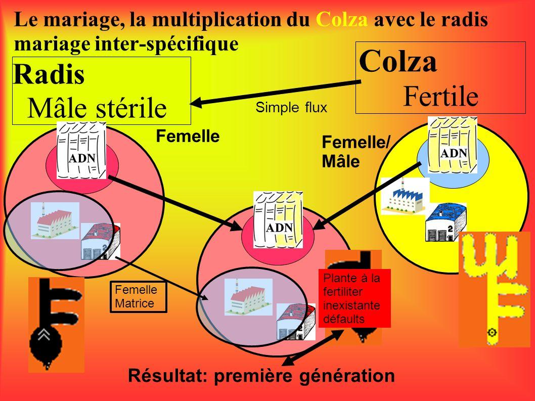 Radis Mâle stérile Le mariage, la multiplication du Colza avec le radis mariage inter-spécifique Colza Fertile Femelle Femelle/ Mâle Simple flux Résul