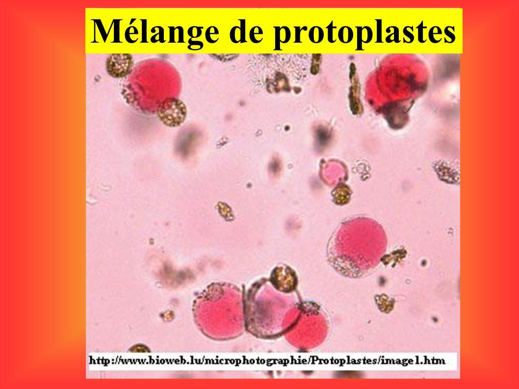 Mélange de protoplastes
