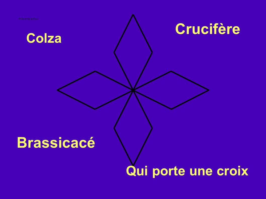 Présente la fleur Colza Brassicacé Crucifère Qui porte une croix