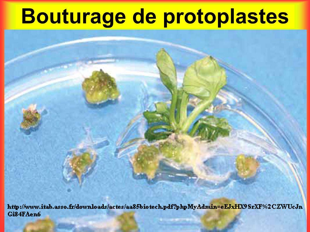 Bouturage de protoplastes