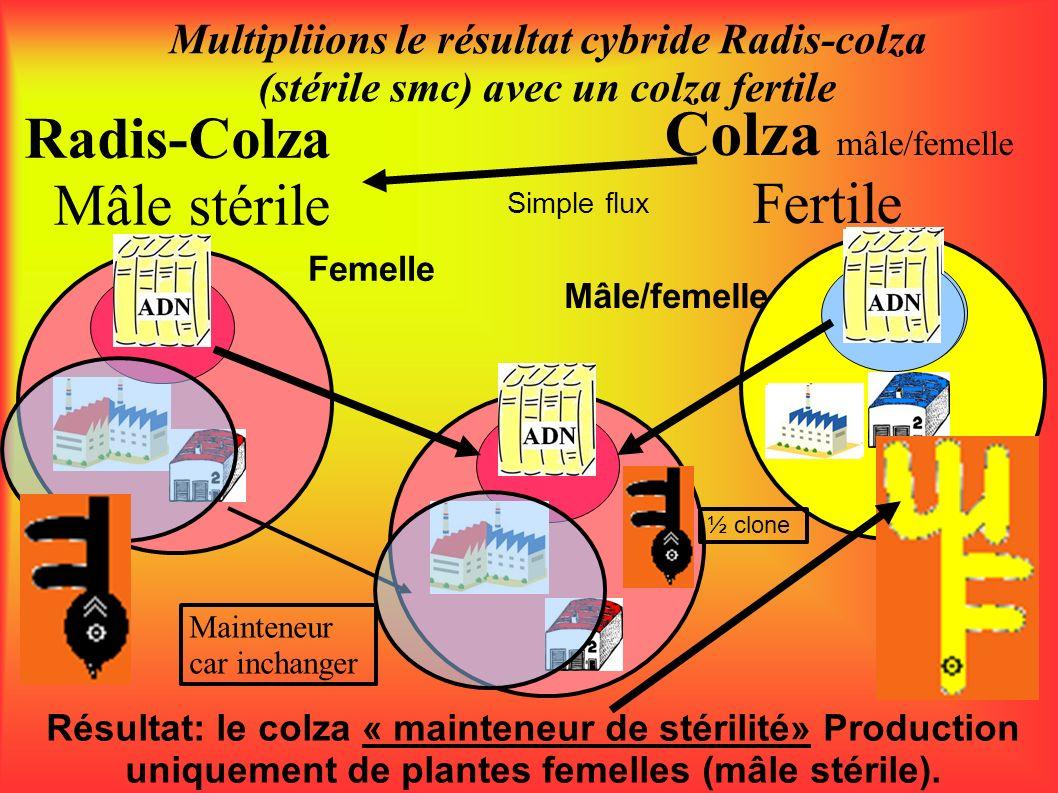 Radis-Colza Mâle stérile Multipliions le résultat cybride Radis-colza (stérile smc) avec un colza fertile Colza mâle/femelle Fertile Femelle Mâle/feme