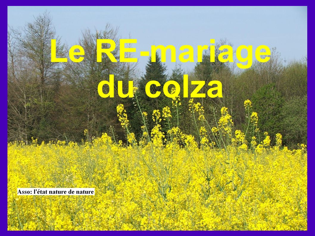 Le RE-mariage du colza