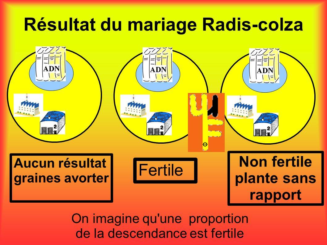 Résultat du mariage Radis-colza Aucun résultat graines avorter Non fertile plante sans rapport Fertile On imagine qu'une proportion de la descendance