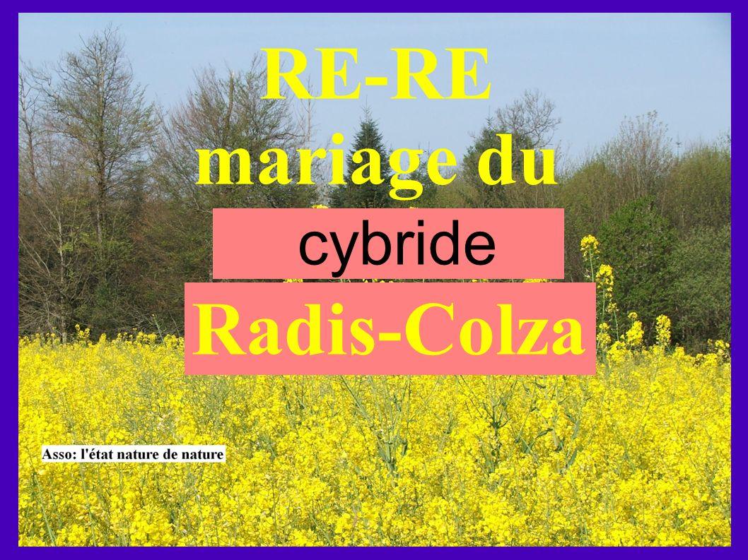 RE-RE mariage du cybride Radis-Colza