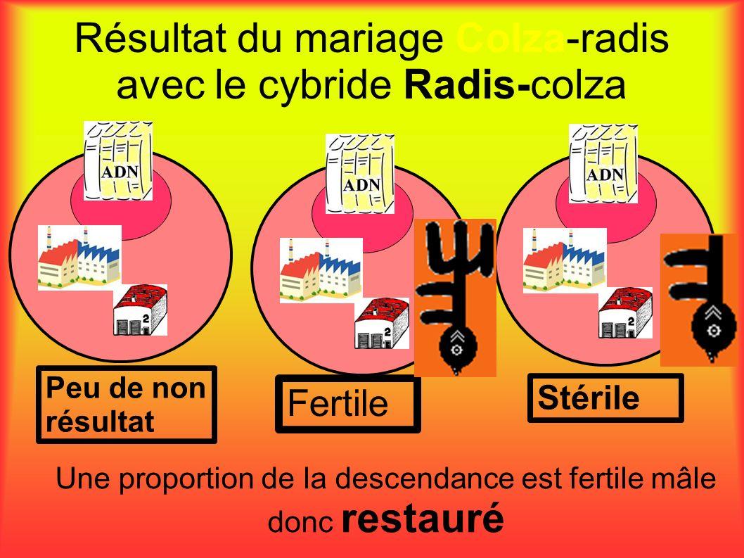 Résultat du mariage Colza-radis avec le cybride Radis-colza Peu de non résultat Stérile Fertile Une proportion de la descendance est fertile mâle donc