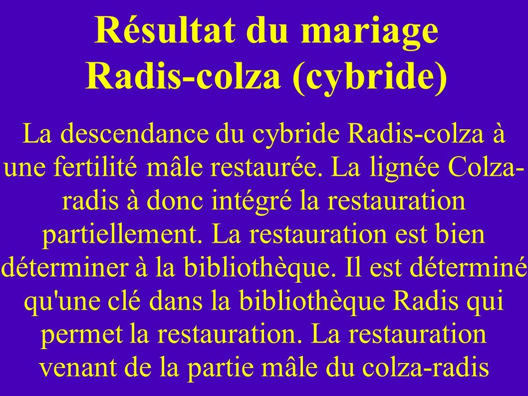 Résultat du mariage Radis-colza (cybride) La descendance du cybride Radis-colza à une fertilité mâle restaurée. La lignée Colza- radis à donc intégré