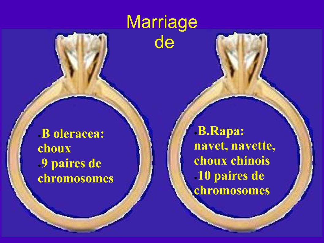 Marriage de B.Rapa: navet, navette, choux chinois 10 paires de chromosomes B oleracea: choux 9 paires de chromosomes