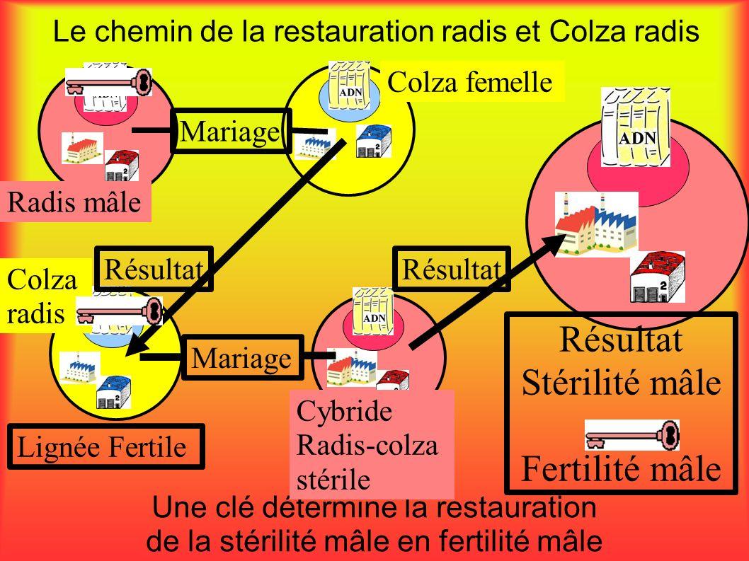 Le chemin de la restauration radis et Colza radis Une clé détermine la restauration de la stérilité mâle en fertilité mâle Radis mâle Mariage Colza fe