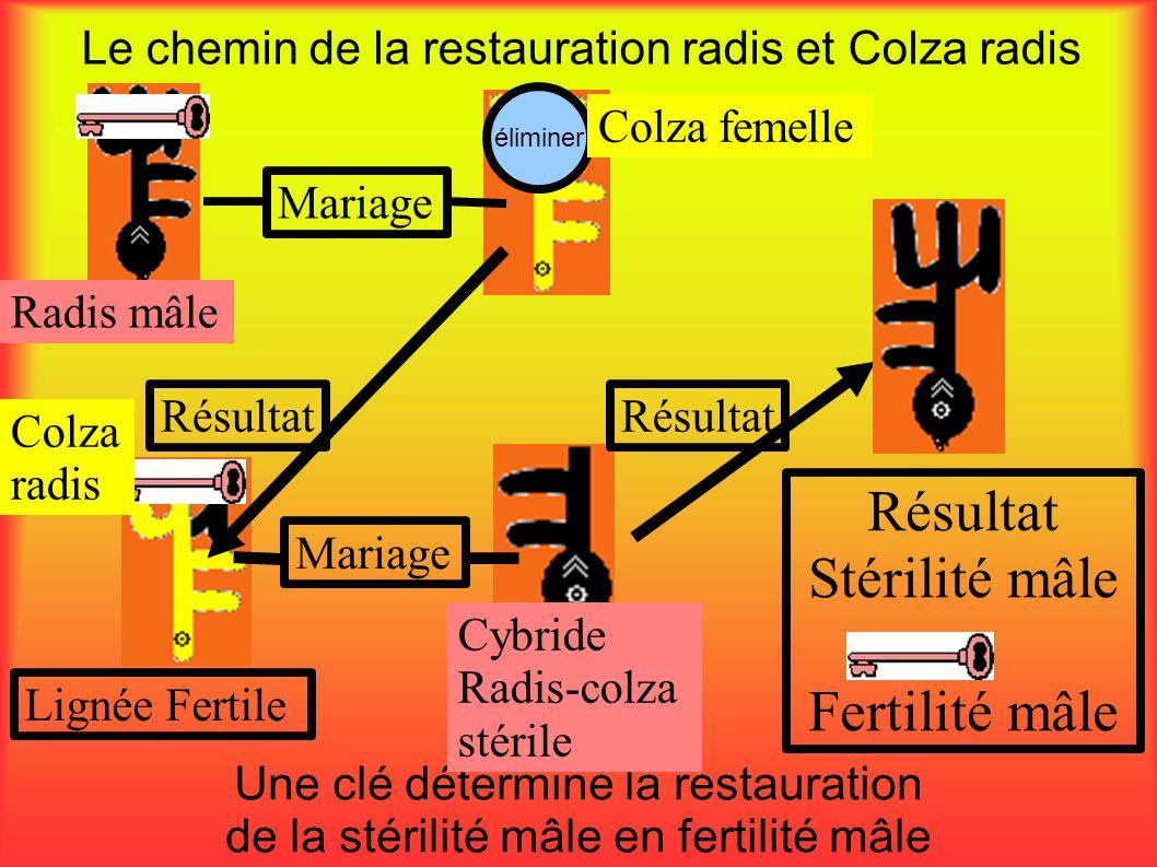 éliminer Le chemin de la restauration radis et Colza radis Une clé détermine la restauration de la stérilité mâle en fertilité mâle Radis mâle Mariage