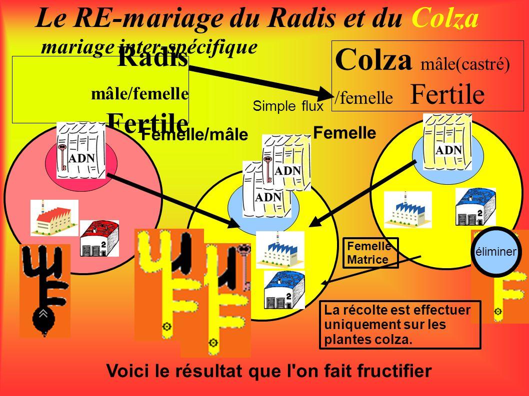 Radis mâle/femelle Fertile Le RE-mariage du Radis et du Colza mariage inter-spécifique Colza mâle(castré) /femelle Fertile Femelle/mâle Femelle Simple